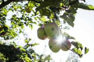 Organic apple on a tree in a garden during the autumn morning sun