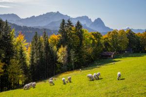 Autumn shot of sheep on meadow against Wetterstein Mountains with Alpspitze, Zugspitze and Waxensteine, blue sky, trees, Garmisch-Partenkirchen, Upper Bavaria, Bavaria, southern Germany, Germany