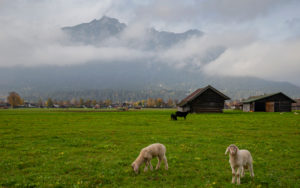 Young white and black sheep, baby sheep, young sheep, lamb, domestic sheep, Ovis gmelini aries, green meadow, Kramer, Bauernstadel, clouds, fog, Garmisch-Partenkirchen, Upper Bavaria, Bavaria, southern Germany, Germany