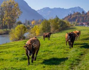 Cows (Murnau-Werdenfelser-Rind) on meadow near Eschenlohe in autumn against Wetterstein Mountains with Alpspitze and Zugspitze, blue sky, trees, Garmisch-Partenkirchen, Upper Bavaria, Bavaria, southern Germany, Germany