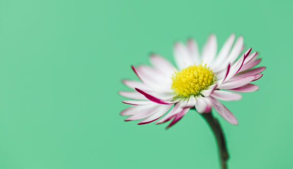 Close-up of a daisy in green,