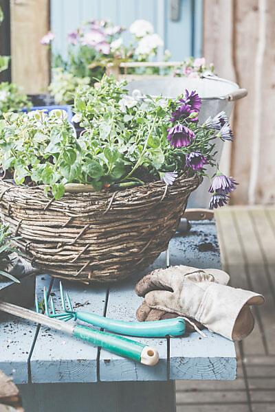 Kapkörbchen in  Töpfe und Körbe pflanzen. Vorbereitung für die Gartensaison.