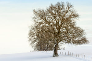 Trees in lonesome snowscape