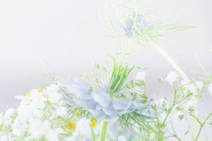 love-in-a-mist, Nigella damascena, one-year-old medicinal plants,