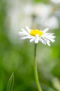 Gänseblümchen in der Sommerwiese,