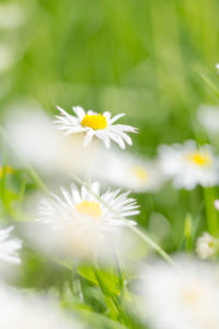 Daisies in the summer meadow,