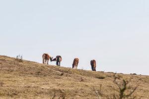Hiddensee im frischen Frühling - Pferde auf einer Koppel,