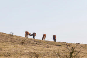 Hiddensee in the fresh spring - horses in a paddock,