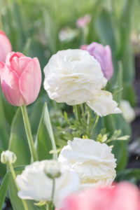 Tulips and ranunculus in a bed,