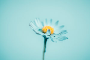 Close-up of a daisy in blue,