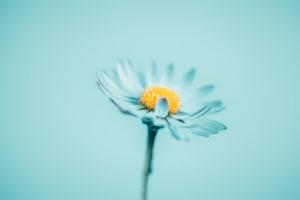 Nahaufnahme eines Gänseblümchens in Blau,