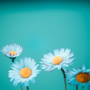 Close-up of several daisies in blue,