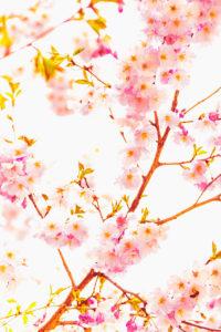 Cherry blossoms on a tree, springtime