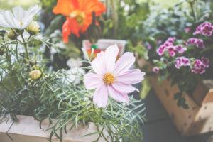 Schmuckkörbchen, Cosmos bipinnatus oder auch Cosmea ist eine schöne Pflanze für Garten und Terrasse.