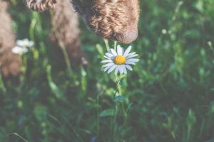 Ein Hund, ein Pudel riecht an einer Margeritenblüte. Frühling - Der Garten blüht im Sonnenlicht.