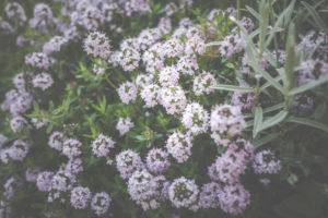 Die kleinen, rosa Blüten der Steingarten-Staude Gebirgs-Thymian, Thymus praecox.
