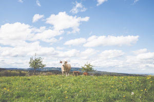 The blue sky with white clouds over Bavaria. A cow in a meadow.