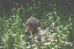 A dog, a poodle lies in a meadow. Spring - The garden blooms in the sunlight.
