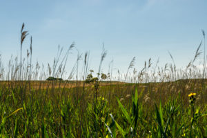 Blue sky, reeds, grass and sunshine to the horizon.