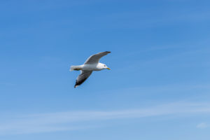 A seagull flies in the blue sky - a symbol of vacation and relaxation by the sea.