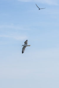 Two seagulls in the sky are circling and watching the sea.
