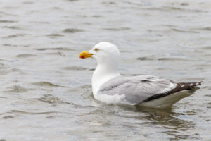 A seagull swims in the water of the North Sea. Close up