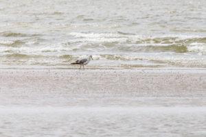 Eine Möwe am Strand sucht ihr Futter im Sand.