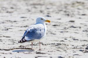 Eine Möwe im Sand. Ein aufmerksamer Beobachter.