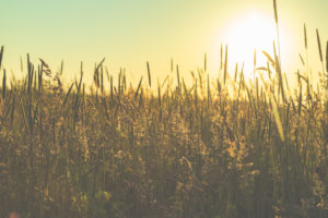 Grasses and meadows on the dike in sunset, St.Peter Ording, North Sea, Wadden Sea
