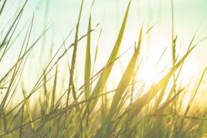 Gräser und Wiesen am Deich im Sonnenuntergang, St.Peter Ording, Nordsee, Wattenmeer, Nahaufnahme im Gegenlicht.