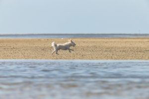 Leisure time and the sea - on the Wadden Sea. A small white dog runs and jumps across the beach and is happy.