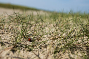 Ladybug in the sand, grass and mud flats