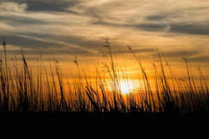 Grasses on the beach in the last sunlight - sunset with silhouette