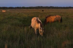 Pferde am Deich im Wattenmeer  im letzten Sonnenlicht.