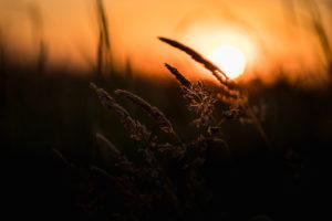 Gräser im letzten Sonnenlicht - Sonnenuntergang mit Silhouette