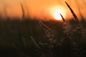 Grasses in the last sunlight - sunset with silhouette