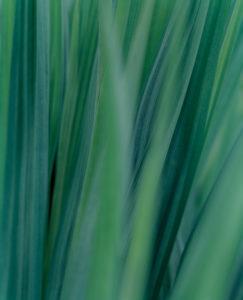 Close-up der Blätter von Montbretien