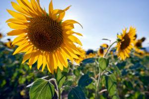 Sunflowers in the morning light