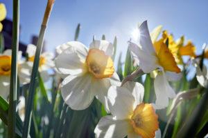 gelbe und weiße Narzissen im Bauerngarten