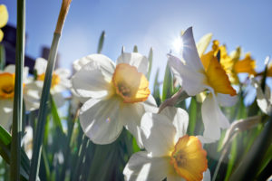 yellow and white daffodils in the cottage garden