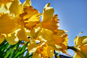 yellow daffodils in the cottage garden