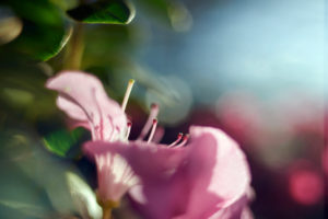 Close-up einer Rosa Azalee im Gewächshaus