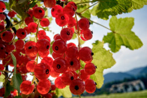 Redcurrants in backlight in front of garden fence and mountain landscape
