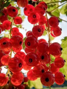 Redcurrants in the back light