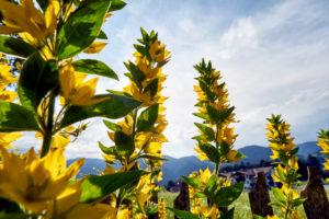 Goldfelberich im Bauerngarten bei Gegenlicht