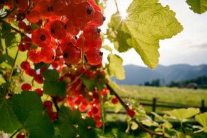 Rote Johannisbeeren im Gegenlicht vor Gartenzaun und Berglandschaft