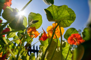 Nasturtium in the cottage garden in backlight