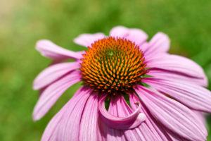 purple coneflower, blossom, close-up