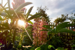 Lupines in the back light in front of wooden fence