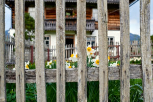 Daffodils behind wooden garden fence and farmhouse
